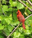 Manlig nordlig kardinal Fotografering för Bildbyråer