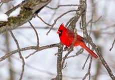 Manlig nordlig kardinal After ett snöfall Fotografering för Bildbyråer
