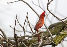 Manlig nordlig kardinal On Full Alert Arkivbilder