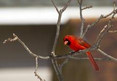 Manlig nordlig kardinal Gawking Royaltyfri Foto