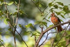 Manlig nordlig kardinal i rugga etapp royaltyfri foto