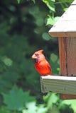 Manlig nordlig kardinal på en fågelförlagematare i Minnesota Arkivbild