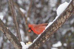 Manlig nordlig kardinal på snöig filial Arkivbilder