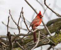 Manlig nordlig kardinal On Perched In ett träd Royaltyfri Bild