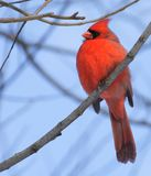 Manlig nordlig kardinal som sätta sig i ett träd arkivfoton