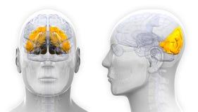Manlig Occipital lob Brain Anatomy - som isoleras på vit royaltyfri illustrationer