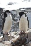 Manlig och kvinnlig antarktisk pingvin Chinstrap eller anseende nära Arkivfoton