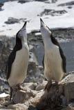 Manlig och kvinnlig antarktisk pingvin som parar ihop säsong Arkivfoto