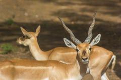 Manlig och kvinnlig impala Fotografering för Bildbyråer