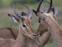 Manlig och kvinnlig impala, Aepycerosmelampus Royaltyfria Bilder