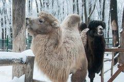 Manlig och kvinnlig kamel Fotografering för Bildbyråer
