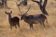 Manlig och kvinnligWaterbuck anseende i namibisk stäpp Arkivfoton