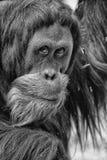 Manlig orangutang royaltyfria bilder