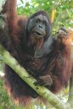 Manlig orangutang som äter fikonträd, Borneo Arkivfoton