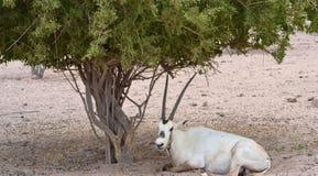 Manlig oryxantilop som vilar under ökenträdet, Sir Baniyas Island Reserve Royaltyfria Foton