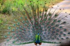 Manlig påfågel på skärm Royaltyfri Fotografi