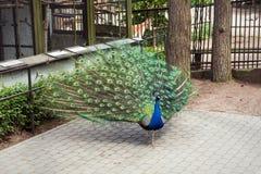 Manlig påfågel på zoo av Riga Lettland arkivfoto