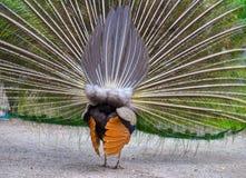 Manlig påfågel som av visar hans storartade fjäderdräkt Royaltyfri Fotografi