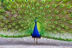 Manlig påfågel som av visar hans storartade fjäderdräkt Royaltyfria Foton