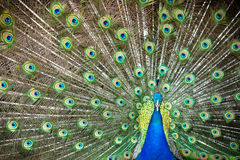 Manlig påfågel som visar av Royaltyfria Bilder