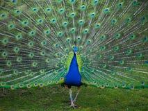 Manlig påfågel som visar dess svansfjädrar i vår royaltyfri bild
