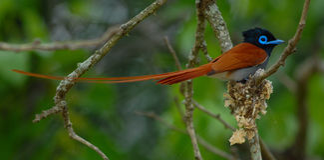 Manlig paradisflugsnappare Fotografering för Bildbyråer