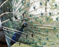 Manlig peafowl som visar svansfjädrar Arkivfoto