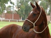Manlig peruanPaso häst som binds till ett träd, Lima Royaltyfria Bilder