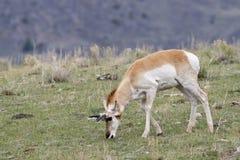 Manlig Pronghorn antilop som betar på nya vårgräs Royaltyfria Bilder