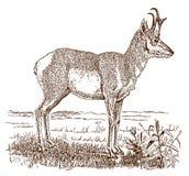 Manlig pronghornantilocapra americana i sidosikten som står i ett landskap stock illustrationer