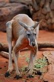Manlig röd känguru Arkivfoton