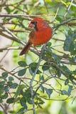Manlig röd kardinal Profile In ett träd royaltyfri fotografi