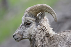 Manlig Rocky Mountain Bighorn Sheep - Banff nationalpark, Kanada Royaltyfria Foton