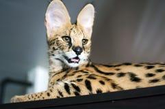 Manlig serval för servalkattleptailurus på uppmärksamhet Royaltyfri Foto
