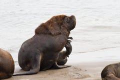 Manlig sjölejon som skrapade sammanträde på stranden av Atlanten Fotografering för Bildbyråer