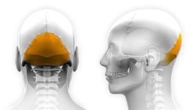 Manlig skalleanatomi för Occipital ben - som isoleras på vit royaltyfri illustrationer