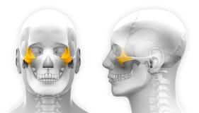 Manlig skalleanatomi för Zygomatic ben - som isoleras på vit vektor illustrationer