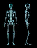 Manlig skelett- full kroppröntgenstråle Royaltyfria Bilder