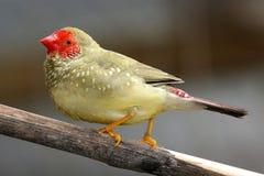 Manlig stjärna Finch Singing Arkivfoton