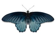 Manlig stor fjäril för mormonPapilio memnon arkivfoto