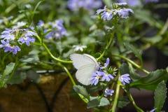 Manlig stor sydlig vit fjäril Arkivfoto