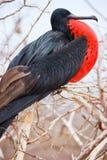 Manlig storartad frigatebird Royaltyfria Bilder