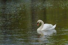 Manlig stum svan Busking för närbild royaltyfri fotografi
