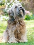 Manlig tibetana Terrier hund Royaltyfria Foton