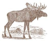 Manlig tjur för älgalcesalces i sidosikten som står i ett landskap stock illustrationer