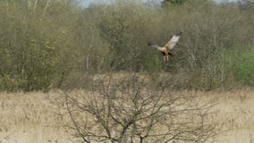 Manlig västra Marsh Harrier rovfågel (cirkusaeruginosus) som flyger därefter att landa i ett träd lager videofilmer