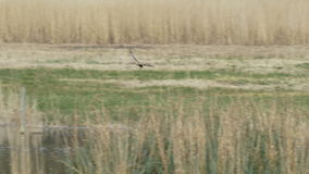 Manlig västra sammankomst för Marsh Harrier rovfågel som (cirkusaeruginosus) bygga bo material stock video