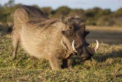Manlig vårtsvin med beten Royaltyfria Foton