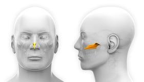 Manlig Vomer skalleanatomi - som isoleras på vit stock illustrationer