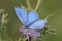 Manliga Adonis Blue Butterfly royaltyfri fotografi